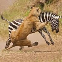 lion hunt zebra.jpg