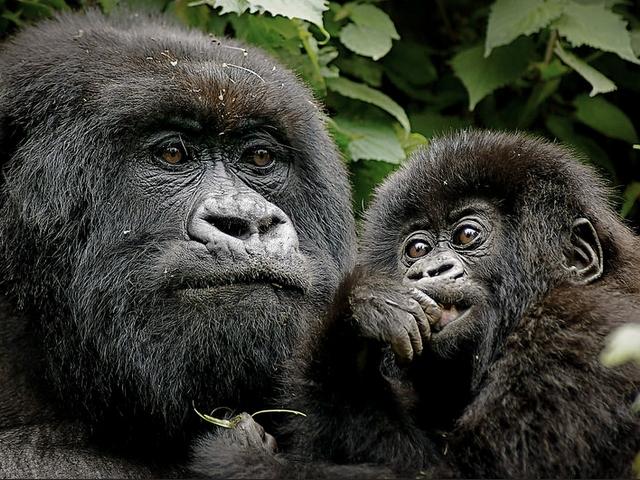 gorillas rwanda