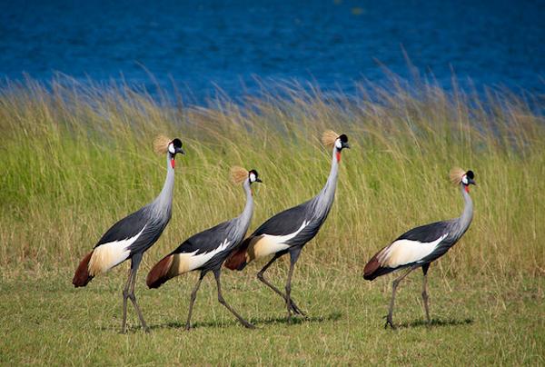 uganda crane bird