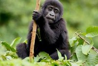 gorilla-tracking-safaris-wildlife-safaris-in-Rwanda.jpg