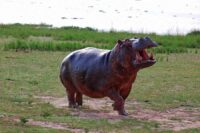 hippo-kazinga-channel.jpg