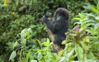 baby-gorilla-playing.jpg