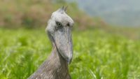 Shoebill Storck