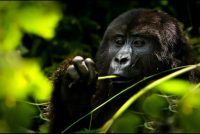 aga safaris uganda mountain gorillas.jpg