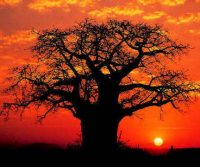 baobab-tree-in-sunset.jpg