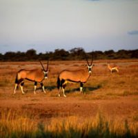 Oryx and Springbuck