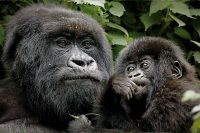 mother-baby-gorilla.jpg