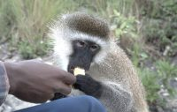 monkey visiting our boat for a snack.jpg