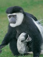 Colobus and Baby Tight.jpg