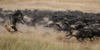 migration-safaris
