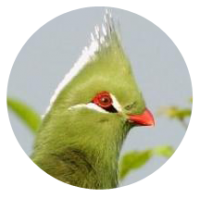 Turaco_Livingstones_St_Lucia_-014.png