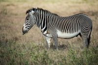 Grevy_zebra_samburu_national_park.jpg