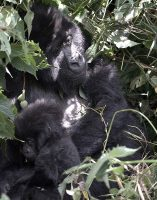 Gorilla mother and baby.jpg