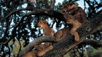 tree-climbing-lions-in-lake-manyara-1505113580-1000X561.jpg
