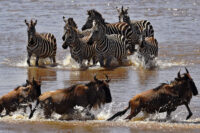 10-Day-Serengeti-Migration-Safari.jpg