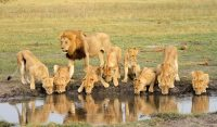 lion-family-jamboree-masai-mara-tours.jpg