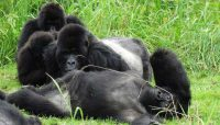 gorillas-relaxing.jpg