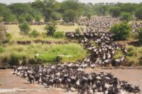 wildebeests migration in the maasai mara reserve.jpg