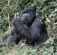 Gorilla male adult.jpg