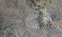 Cheeta over shoulder 2.jpg