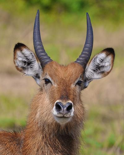 uganda wildlife kob