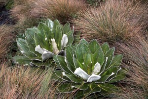 Mt Kenya Vegetation