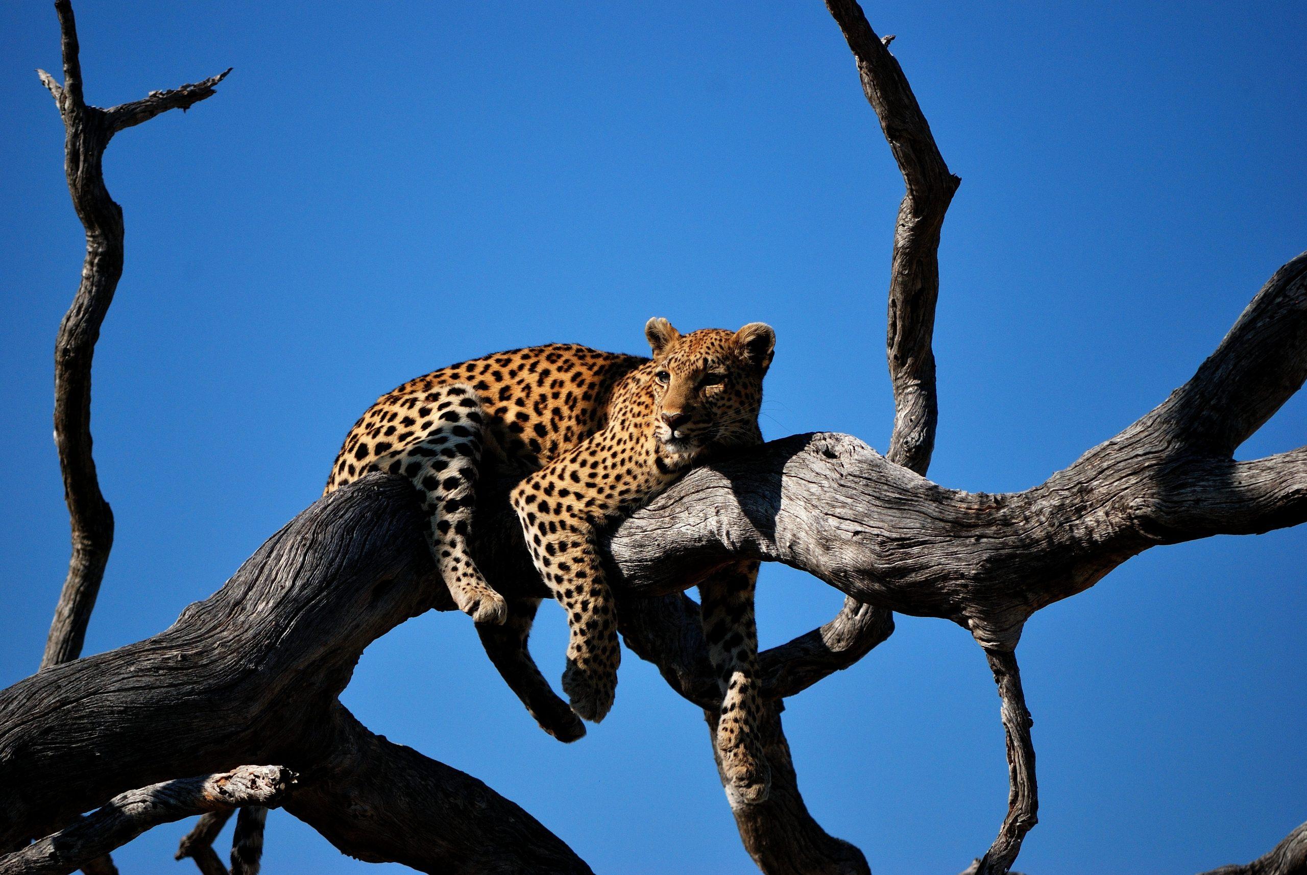 Botswana leopald