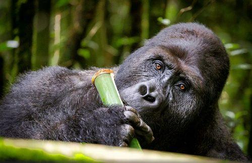 gorilla safaris in Congo
