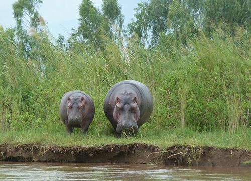 hippos burundi