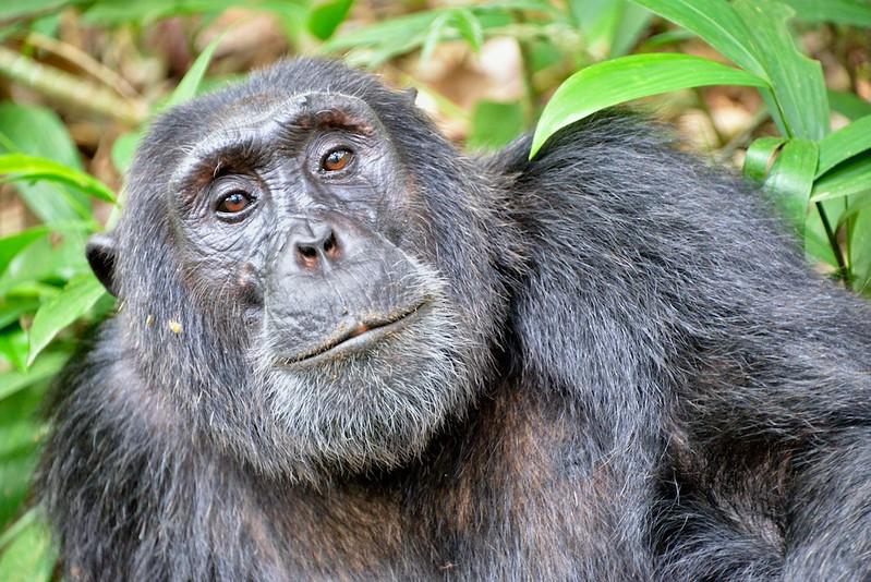 chimpanzee trekking in Africa