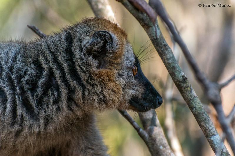 lemurs Madagascar