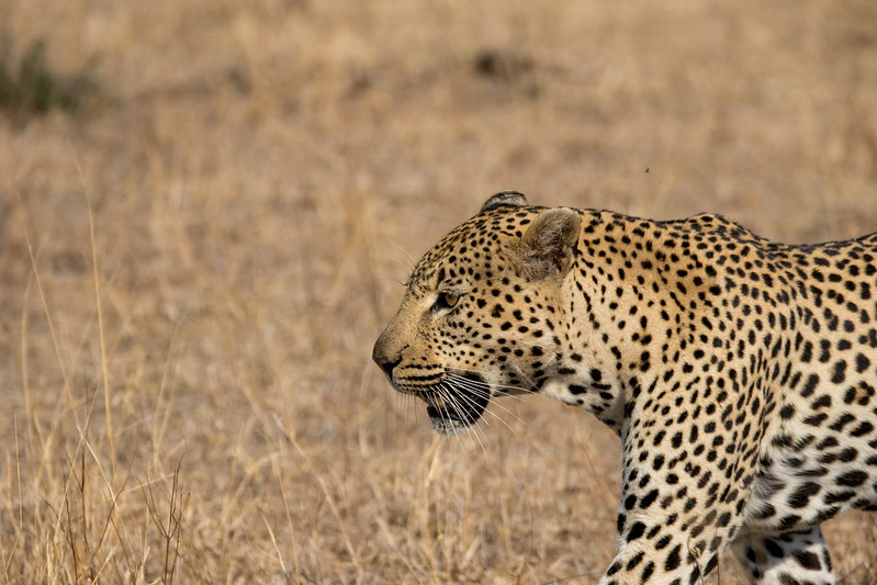 leopard, big five animals African safari