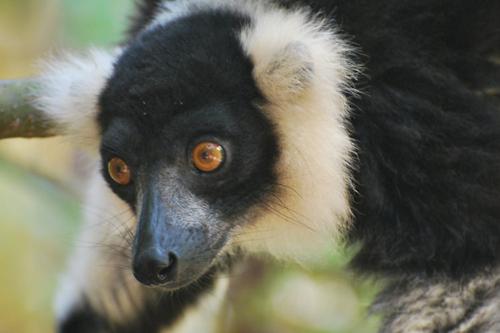 madagascar lemur primates