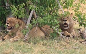 Moremi Botswana Lion Safari