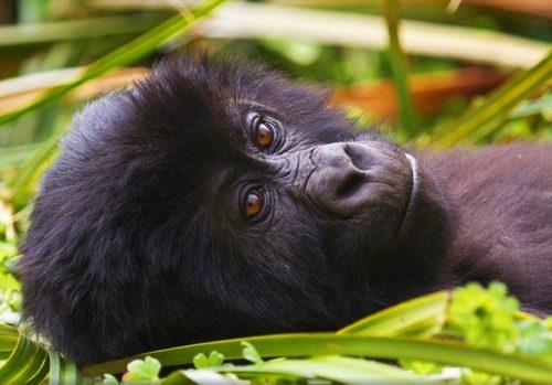 mountain gorillas in Congo