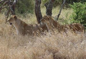 Serengeti Lion Safari