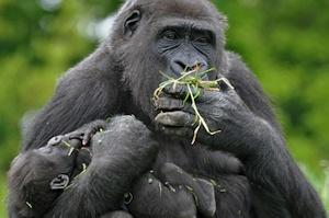 western-gorillas
